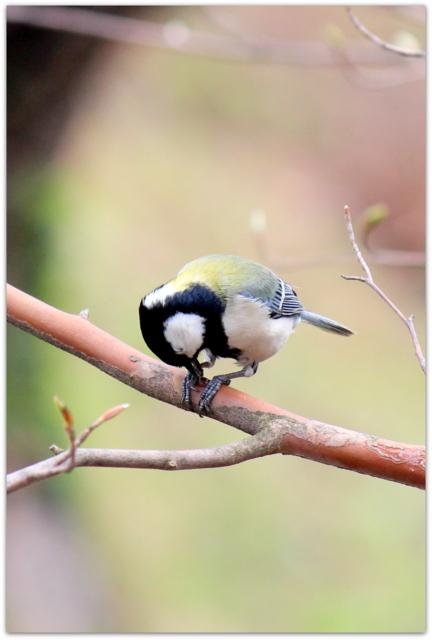 青森県 弘前市 弘前城 弘前公園 野鳥 シジュウカラ 花 写真