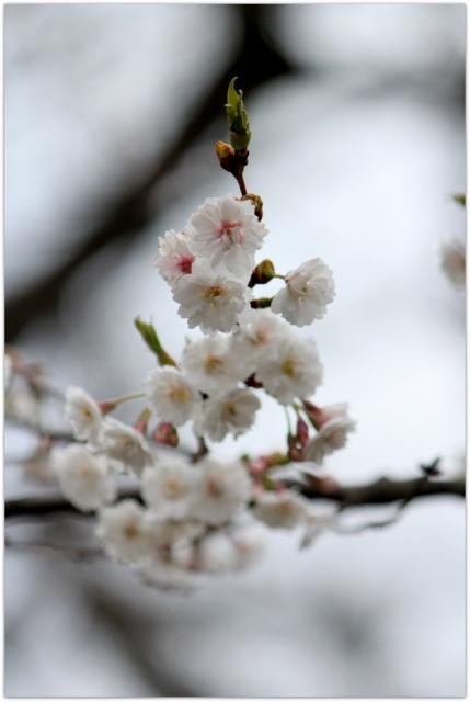 青森県 弘前市 弘前城 弘前公園 子福桜 花 写真
