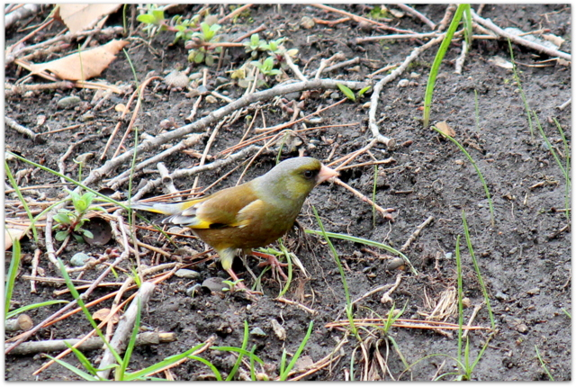 青森県 弘前市 弘前城 弘前公園 野鳥 シメ 花 写真