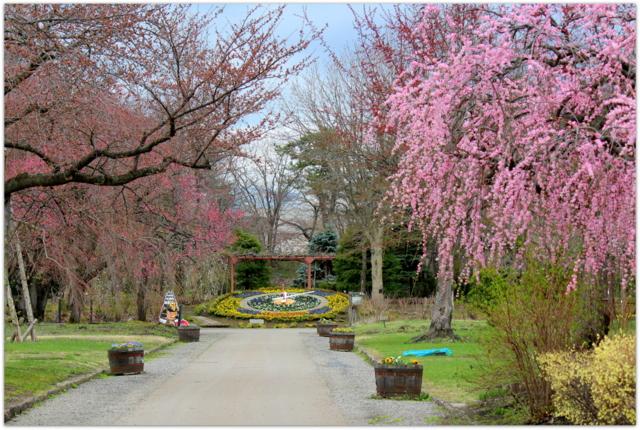 青森県 弘前市 弘前城 弘前公園 梅 花 写真