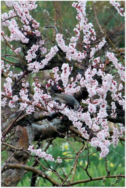 青森県 弘前市 梅 ヒヨドリ 野鳥 写真 花