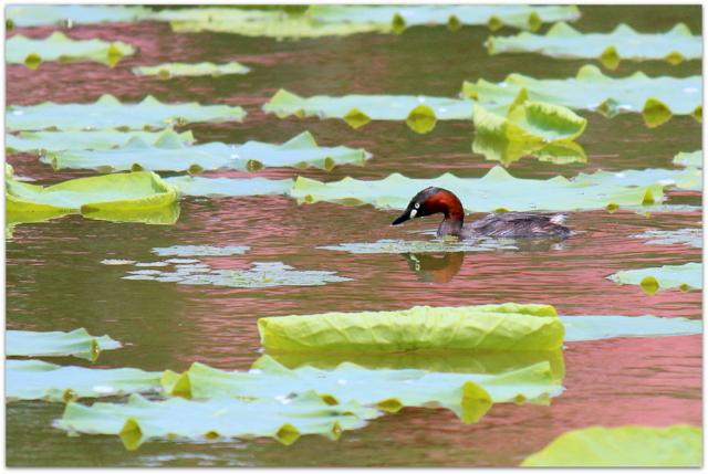 青森県 平川市 猿賀神社 猿賀公園 野鳥 写真 カイツブリ