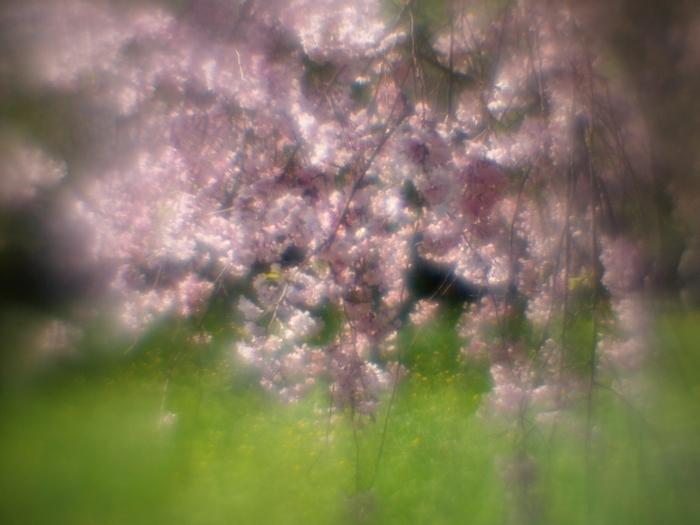 薄紅の枝垂桜