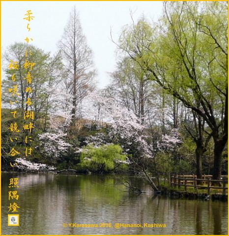 160406湖畔の桜と柳
