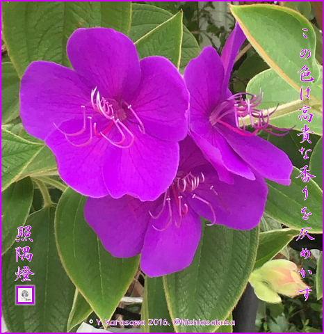 160808紫紺野牡丹