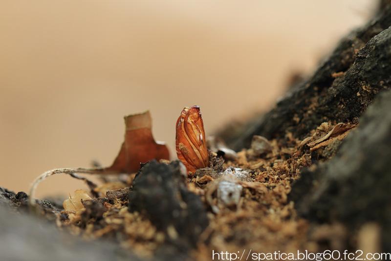 カシコスカシバ蛹殻