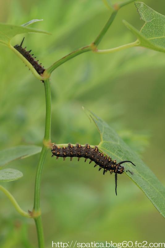 ホソオチョウ幼虫