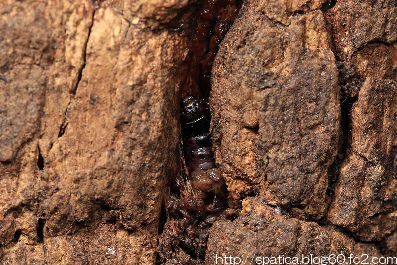 ボクトウガ幼虫
