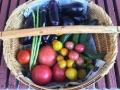 トマト初収穫2016