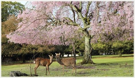 おかっぱ桜