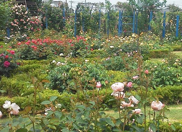 藤沢邸のバラ園1