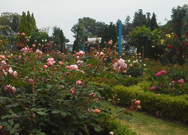 藤澤邸のバラ園2