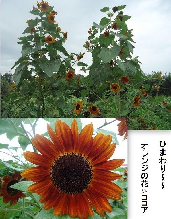 オレンジ色ひまわり(ココア)