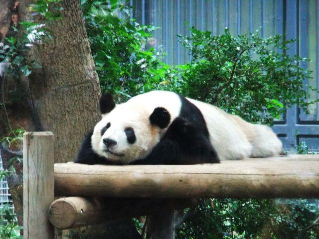 パンダ 居眠り