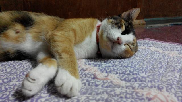 睡眠中の ネコ