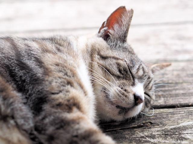 眠っている ネコ