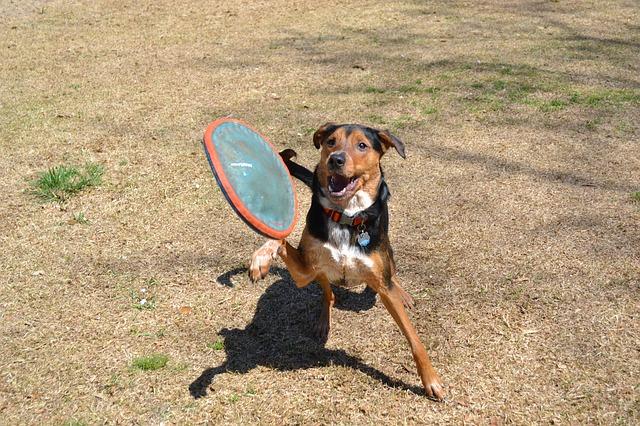 フリスビーを キャッチする 犬