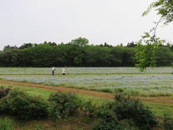 ネモフィラ畑。
