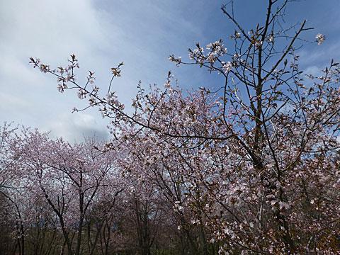 16 5/6 キトウシ 桜