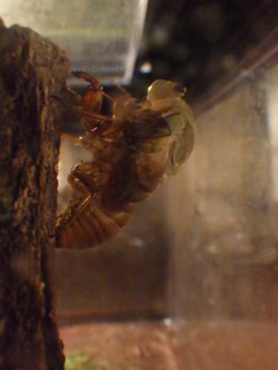 蝉の脱皮 (3)