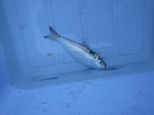 本牧海釣り施設 (15)