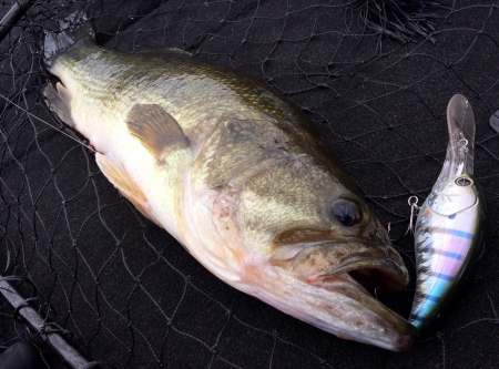 bassshotover_fish52.jpg