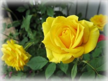 2016黄色バラ