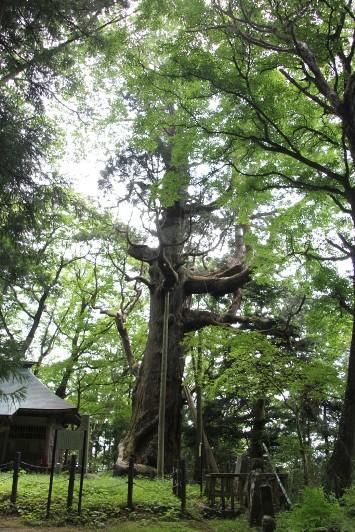 木幡の大杉