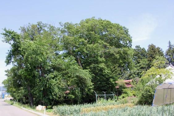 樹齢400年のケヤキ