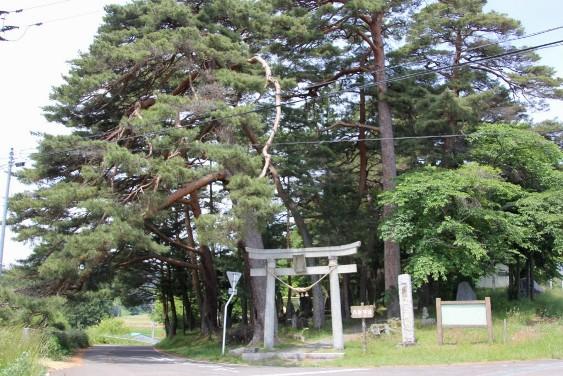 八坂神社のアカマツ