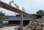 三匹の山羊とミニブタどん