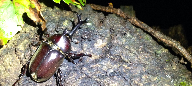 夜のカブトムシ
