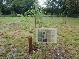 2015年植樹のハンノキ(2016年8月)