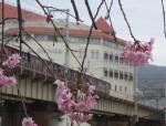 桜と電車1