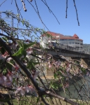桜と電車4
