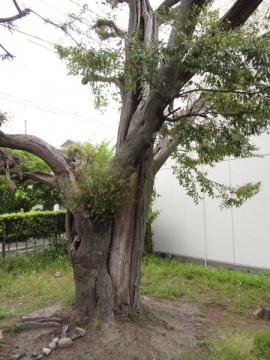 大蒲八柱神社の連理木