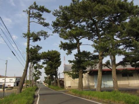 三ケ野の松並木
