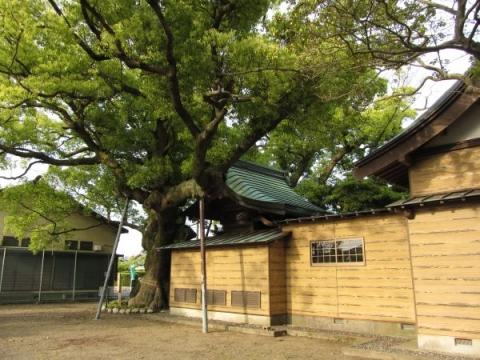 須賀神社大楠