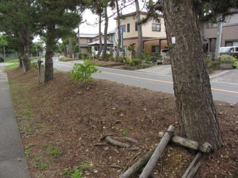 袋井の松並木