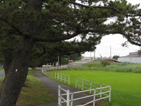 原川の松並木