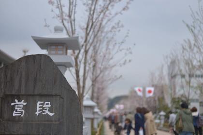 鎌倉桜-026