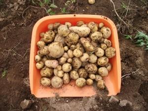 160829収穫