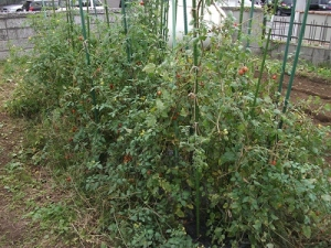 160930トマト畑