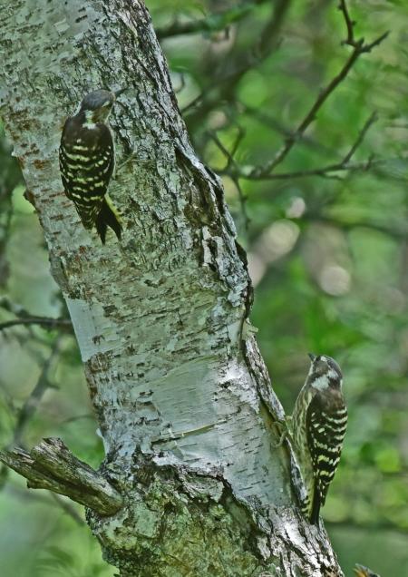コゲラ幼鳥 DSC_0064