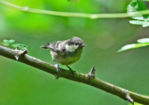 ヒガラ1幼鳥 DSC_0452
