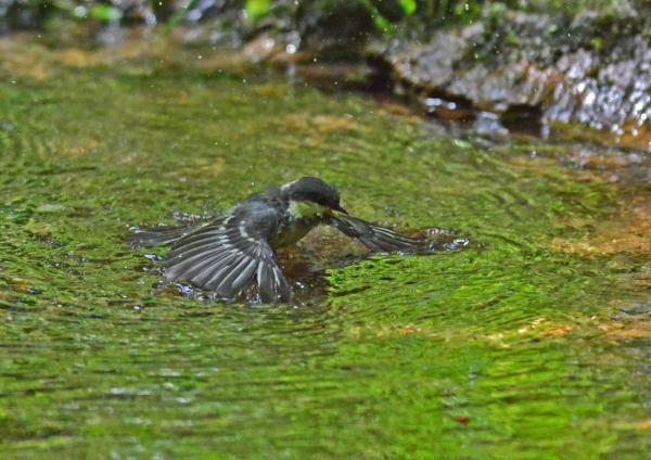 ヒガラ4幼鳥 DSC_0436