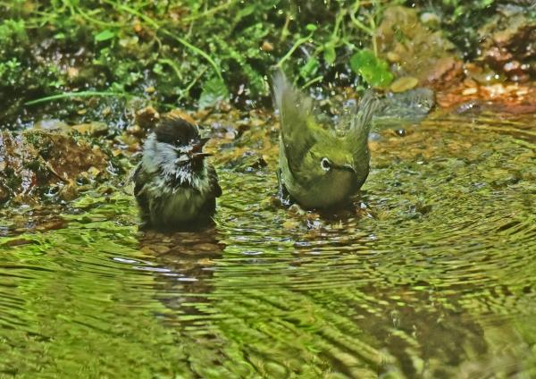 ヒガラ6幼鳥とメジロ DSC_001
