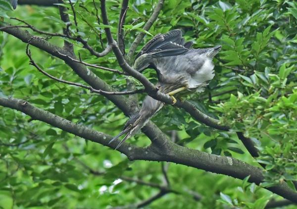 ササゴイ幼鳥3 DSC_0177