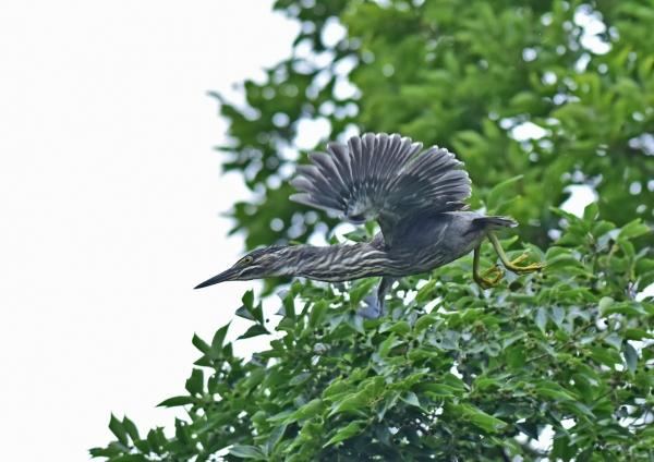 ササゴイ幼鳥4 DSC_0149