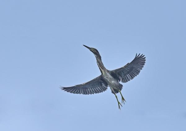 ササゴイ幼鳥5 DSC_0013